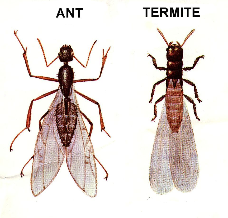 Ant and termite comparison