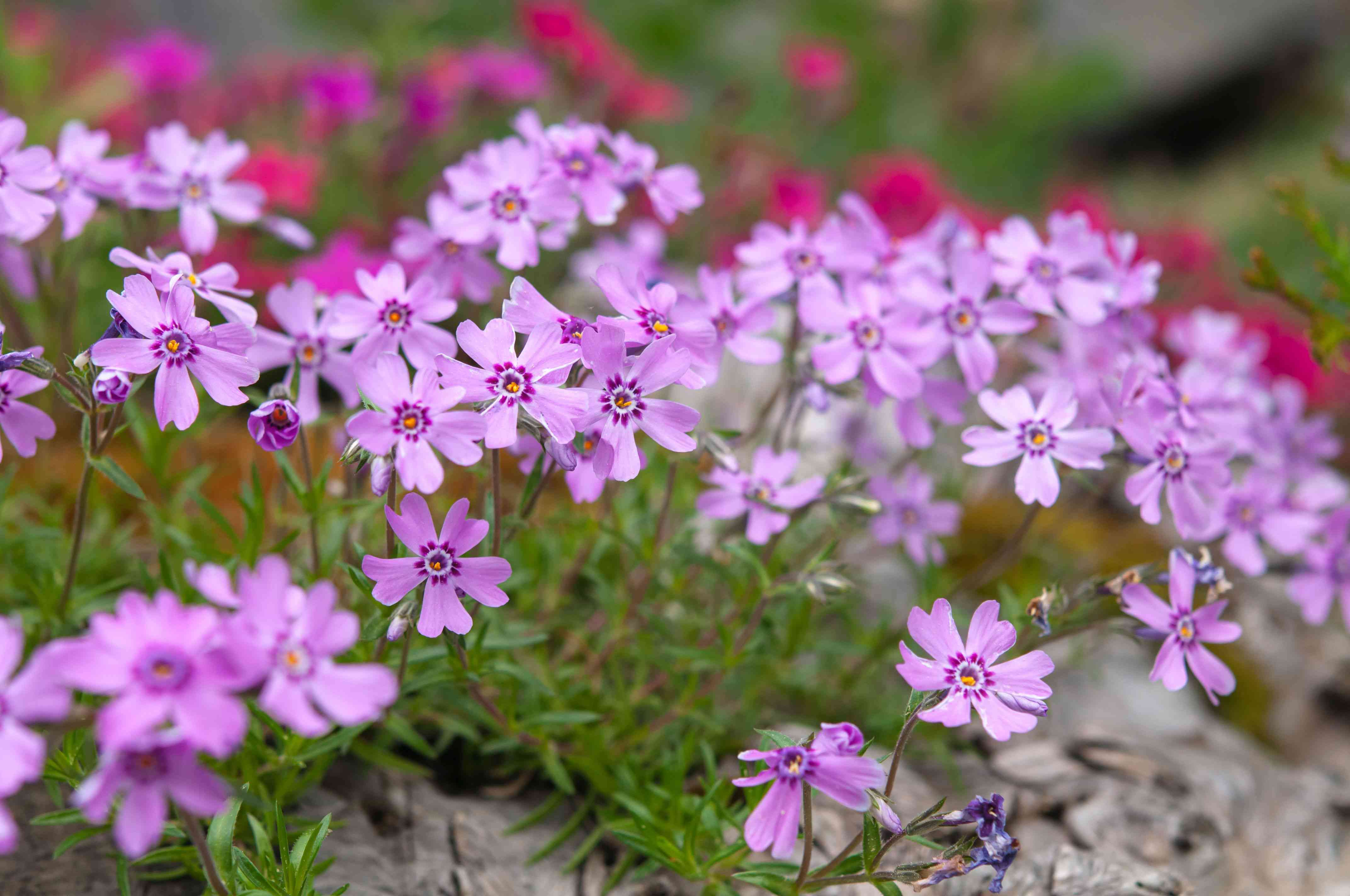 Creeping phlox plant with small pink flowers on thin stems and branches on top of rock closeup