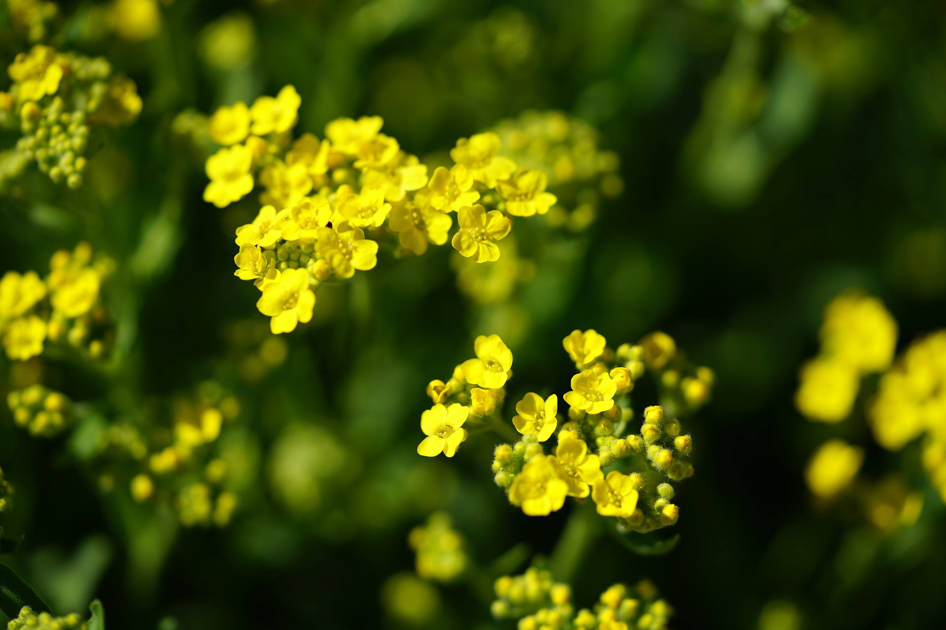 Yellow Alyssum flowers