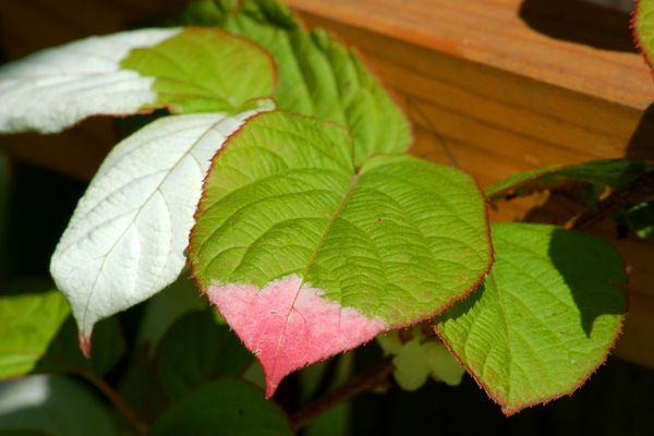Male arctic kiwi vines (image) have three colors on their leaves. This pic is from spring.