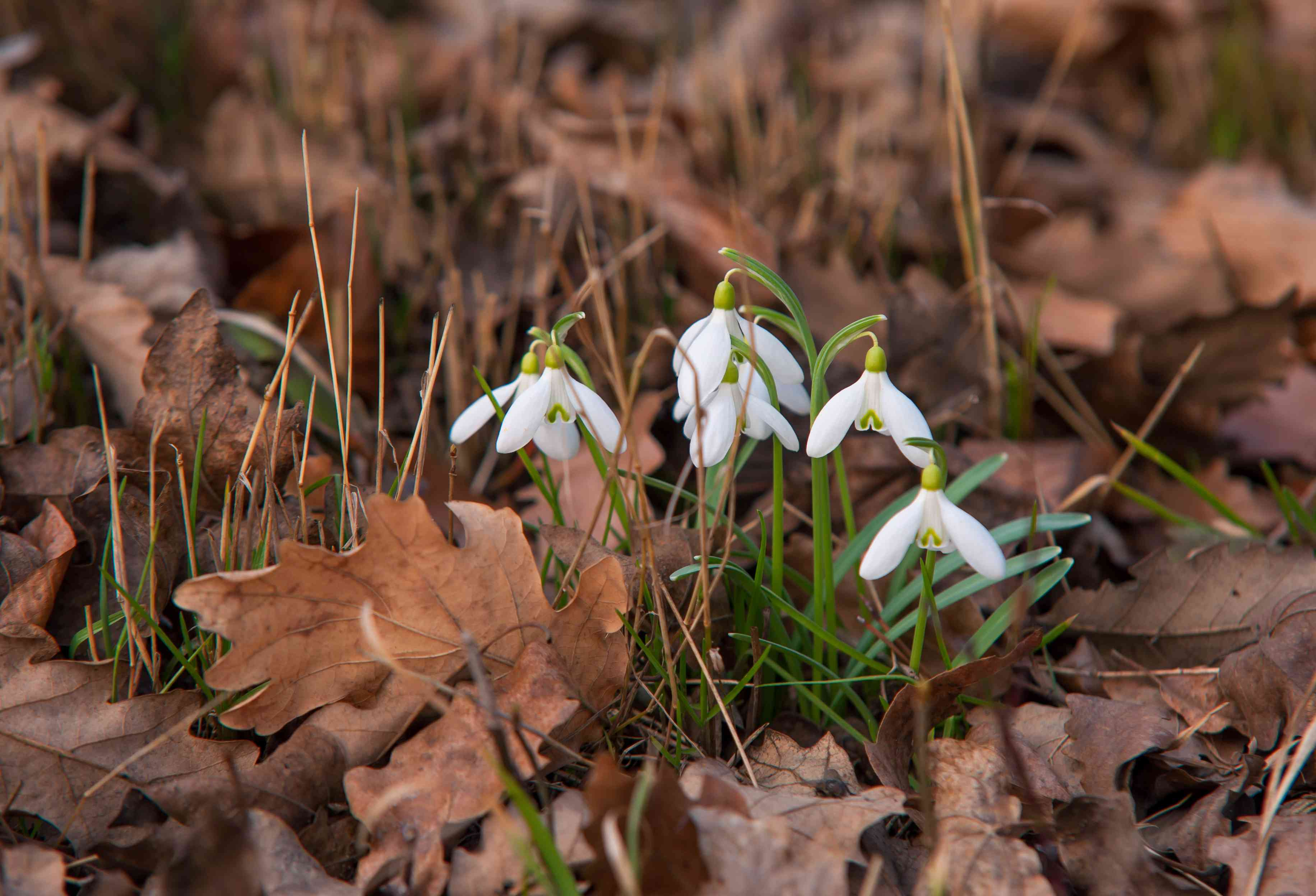 Small snowdrops galanthus nivalis plants in middle of brown leaves with white flowers