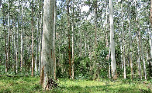 Imagen de un bosque de eucaliptos de goma azul