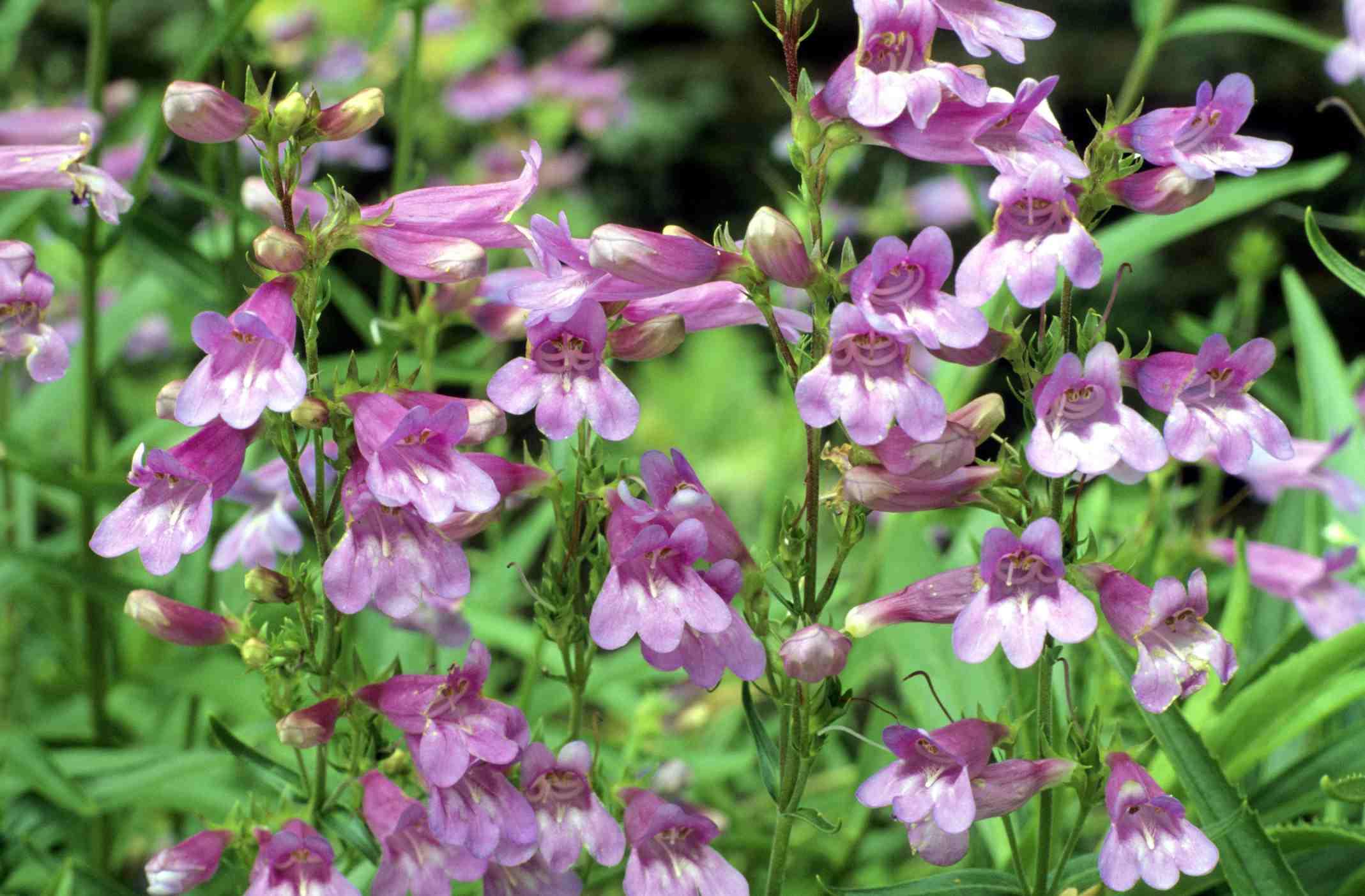 Flores de Penstemon