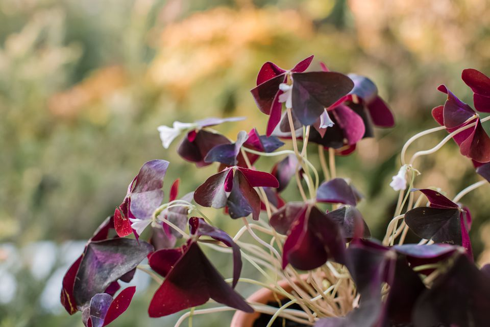 closeup of black oxalis