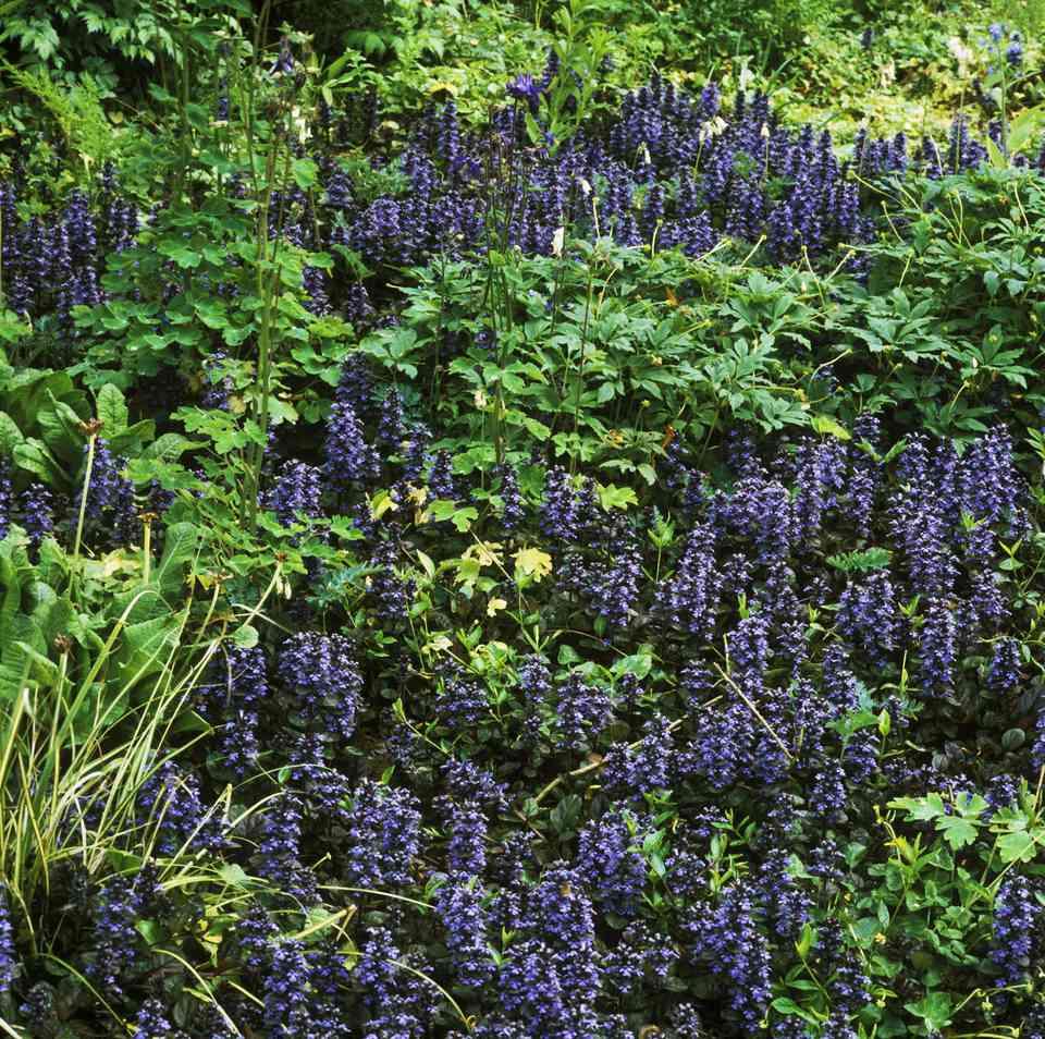 Ajuga reptans atropurpurea grown as ground cover aquilegia vulgaris (foliage)