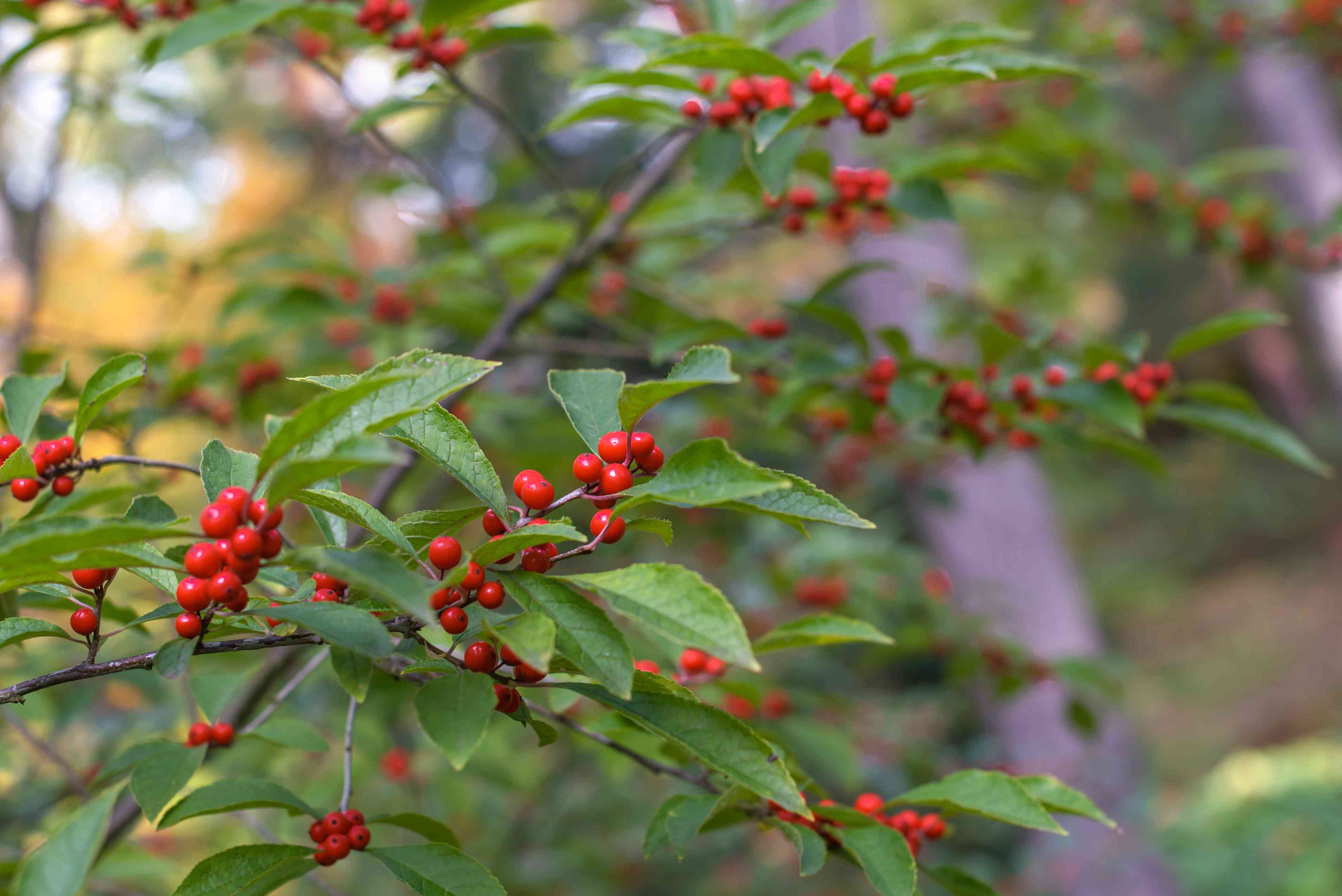 Common winterberry shrub branches with clusters of scarlet berries on branches closeup