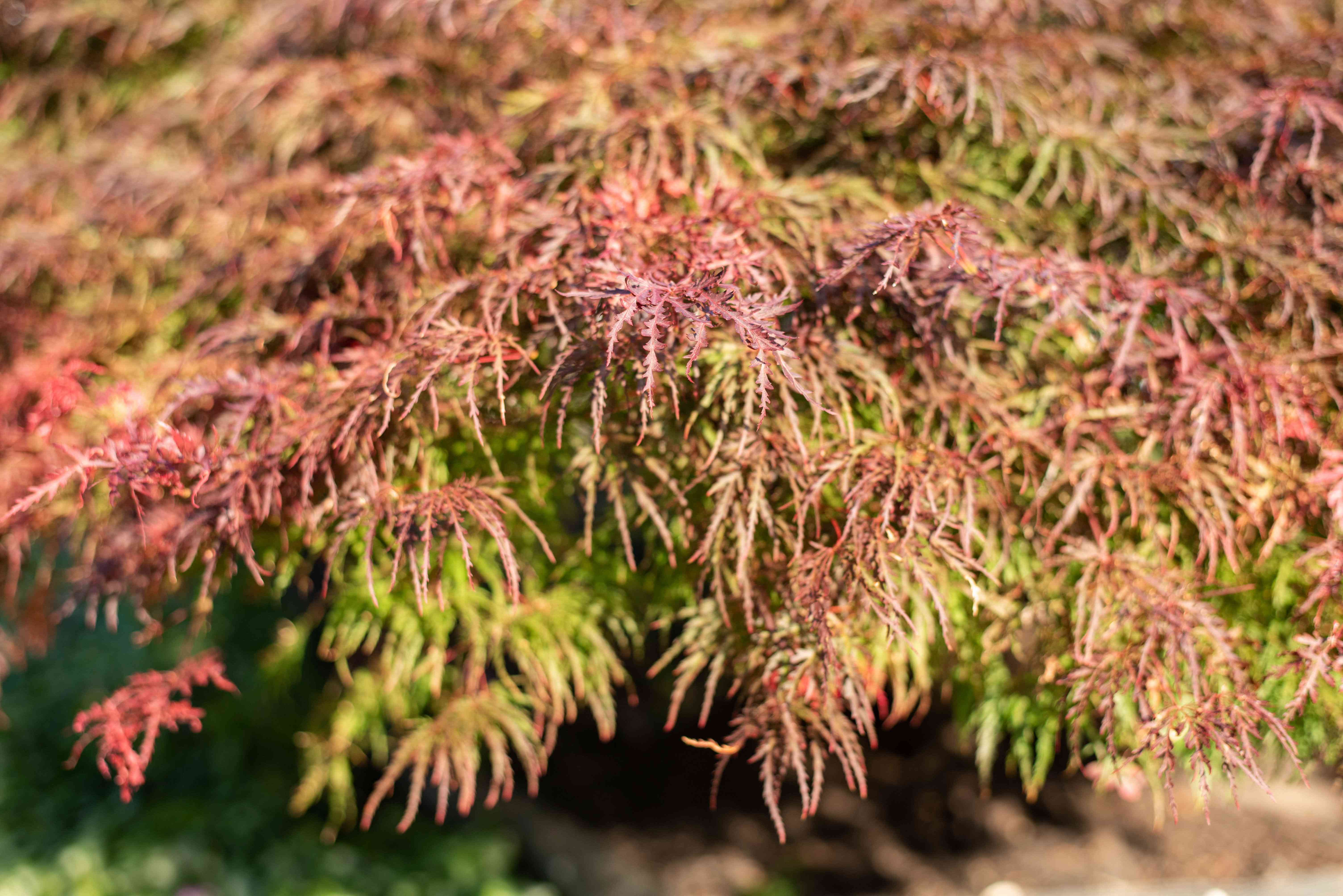 Japanese maple 'Crimson Queen' tree branches with weeping lace-like green and bronze colored leaves
