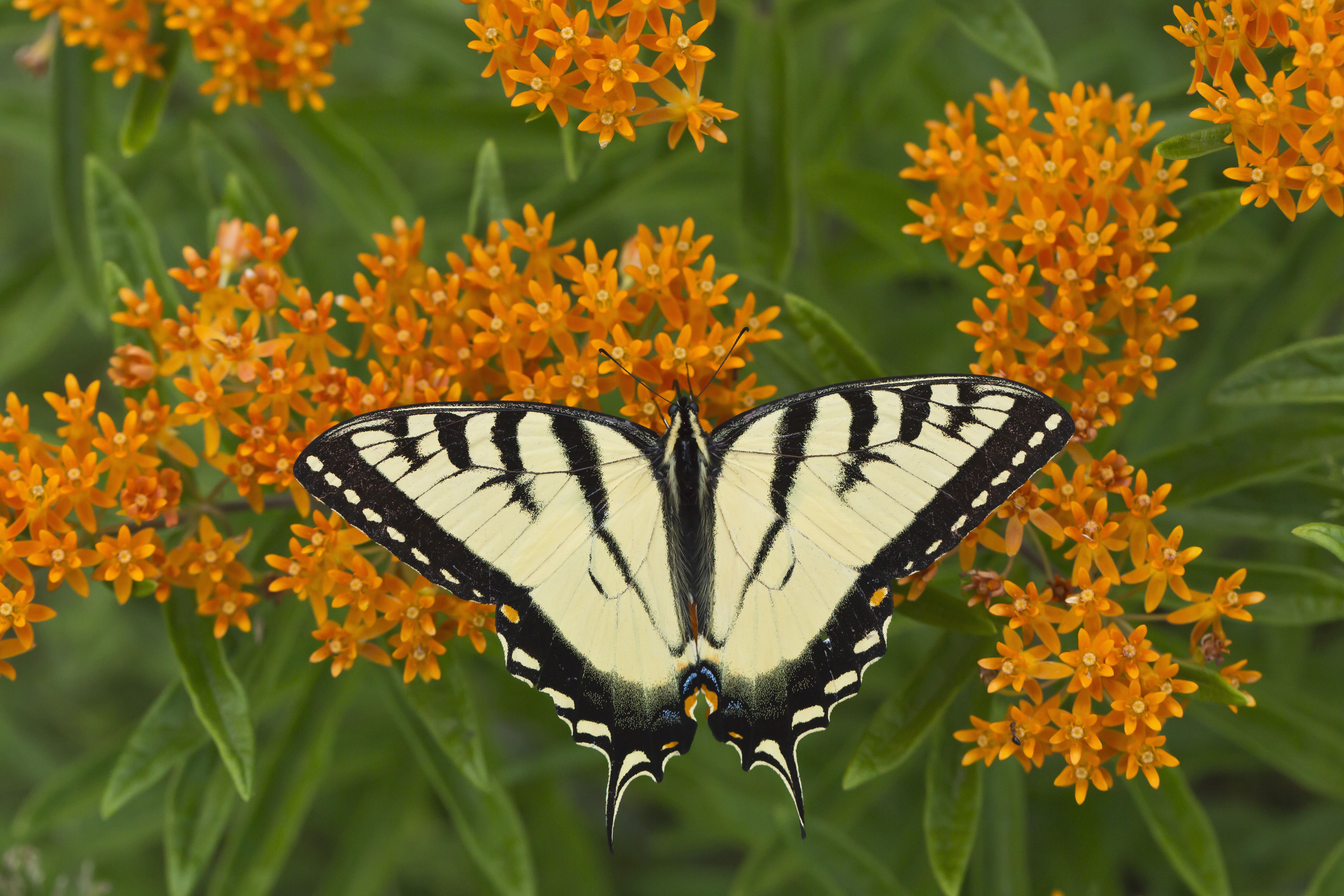 Black swallowtail butterfly on butterfly weed plant.