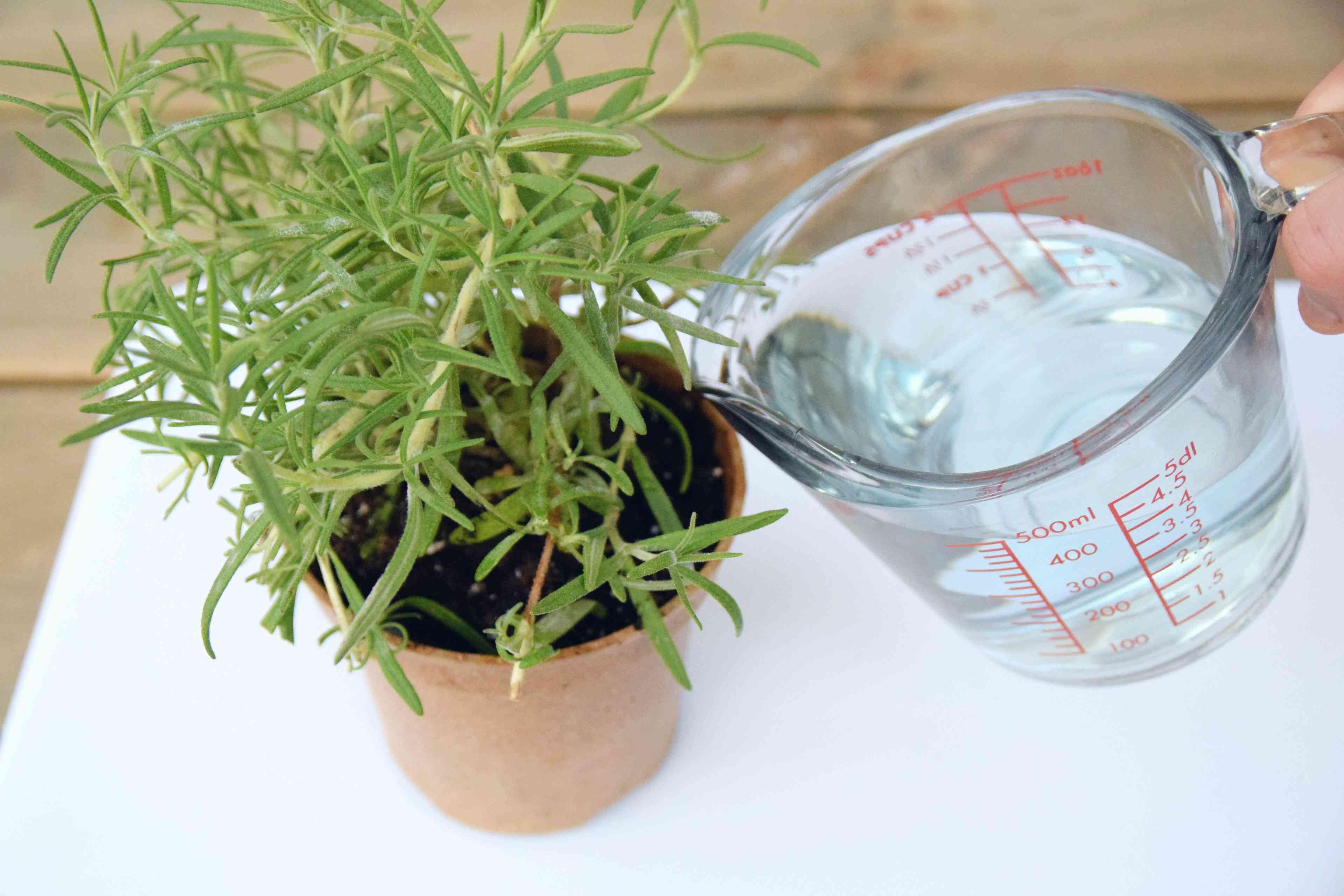 applying fertilizer to indoor herbs
