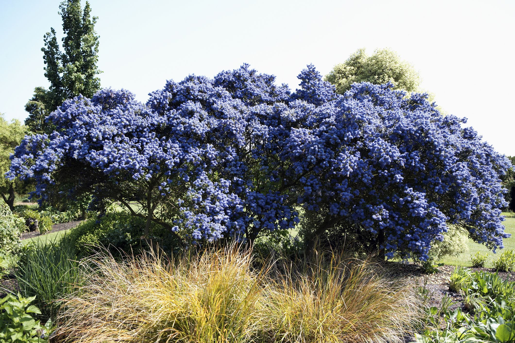 Best shrubs with blue or lavender flowers izmirmasajfo