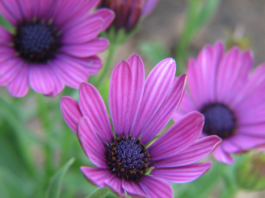 13 plants with daisy like flowers osteospermum izmirmasajfo