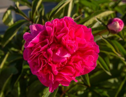 Pink peony flower with ruffled petals surrounded by leaves and pink bud closeup