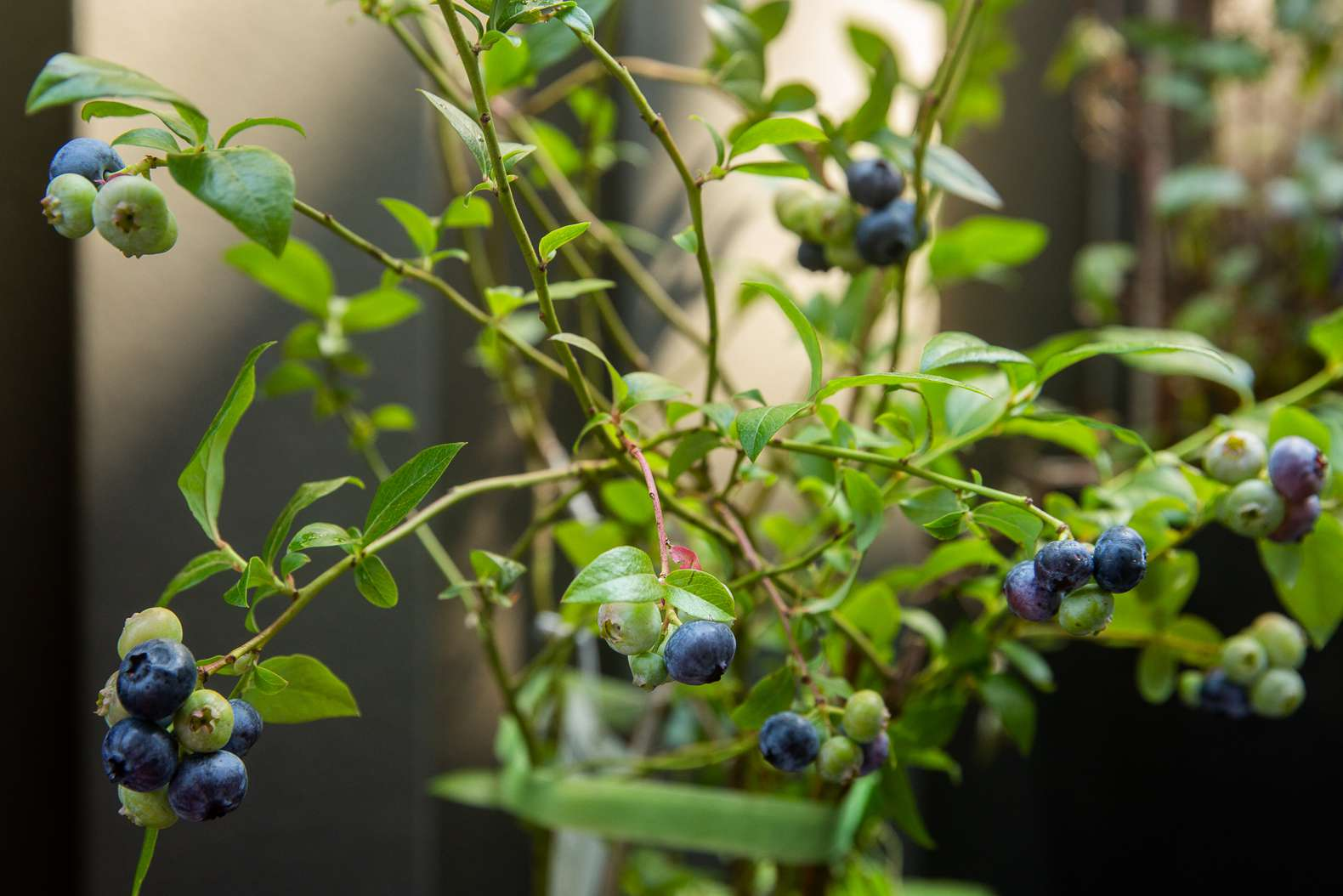 Organic blueberry bush with thin branches and small green leaves with blue and green blueberries hanging on ends