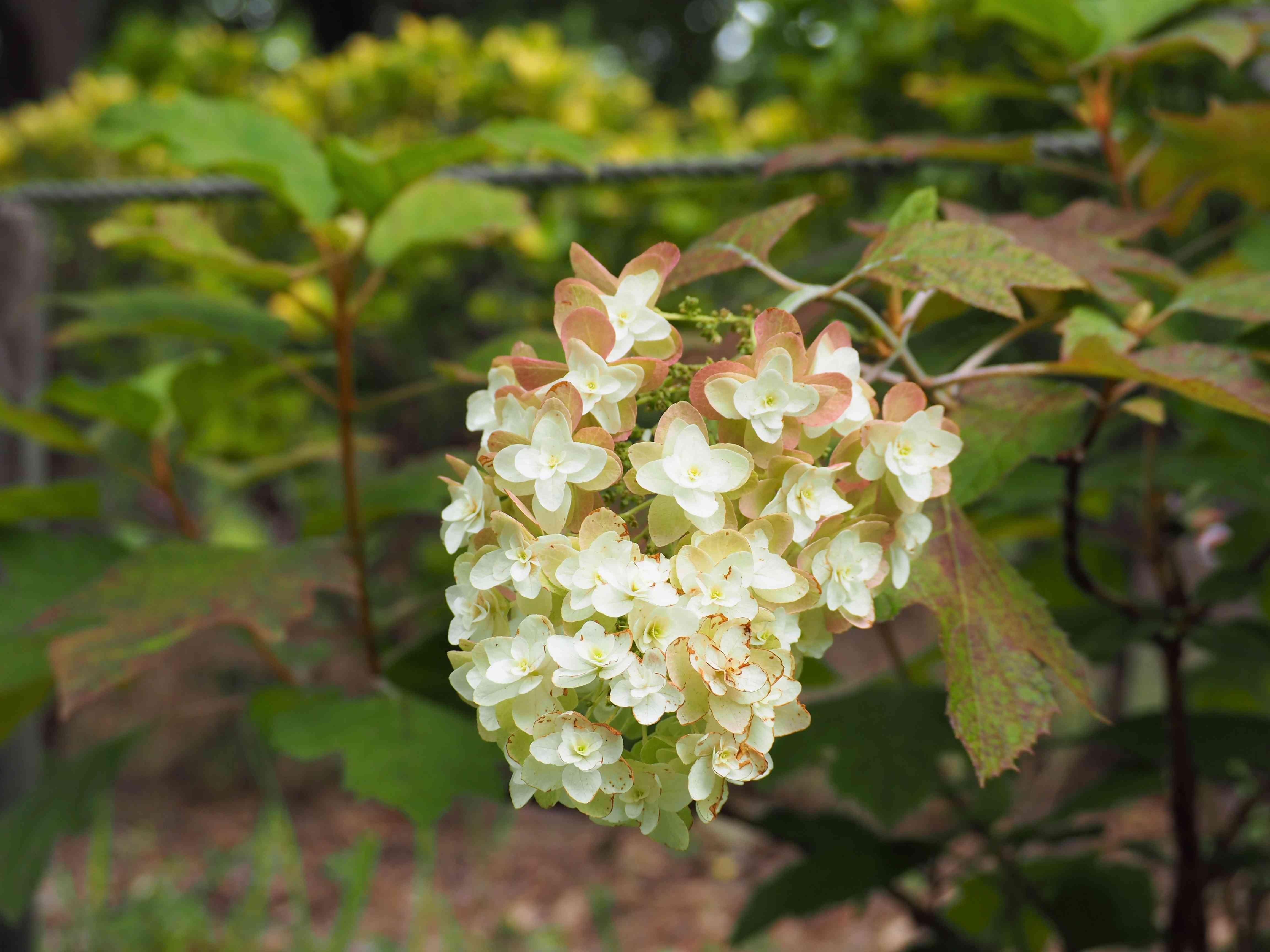 Hydrangea quercifolia (oak-leaved hydrangea) in full bloom in early summer garden