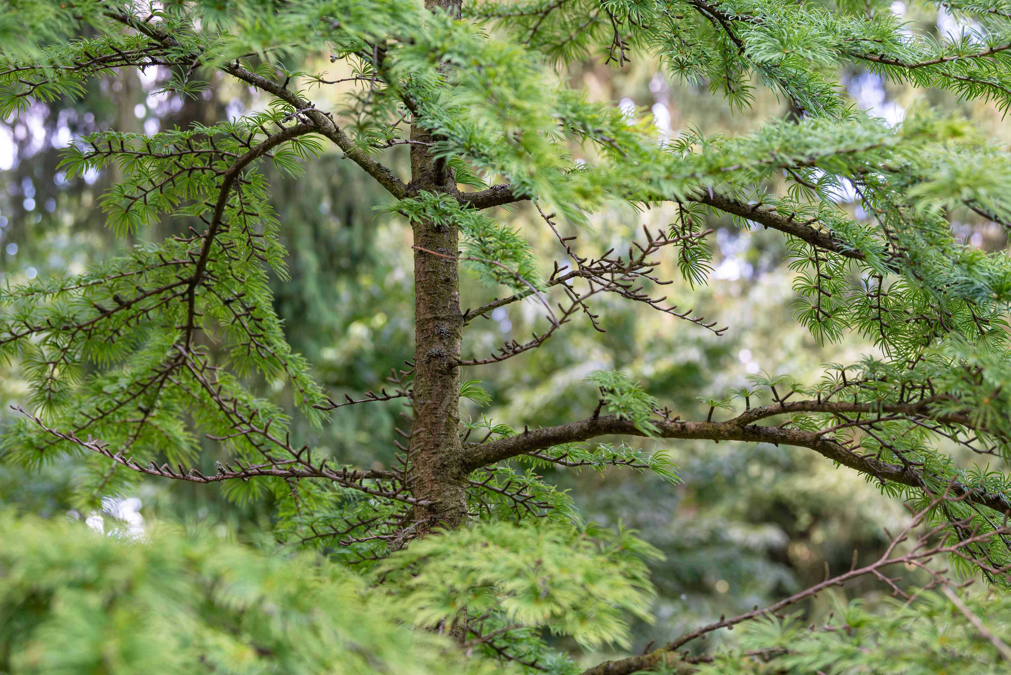 Golden larch tree with thin trunk with small needles on thin branches closeup