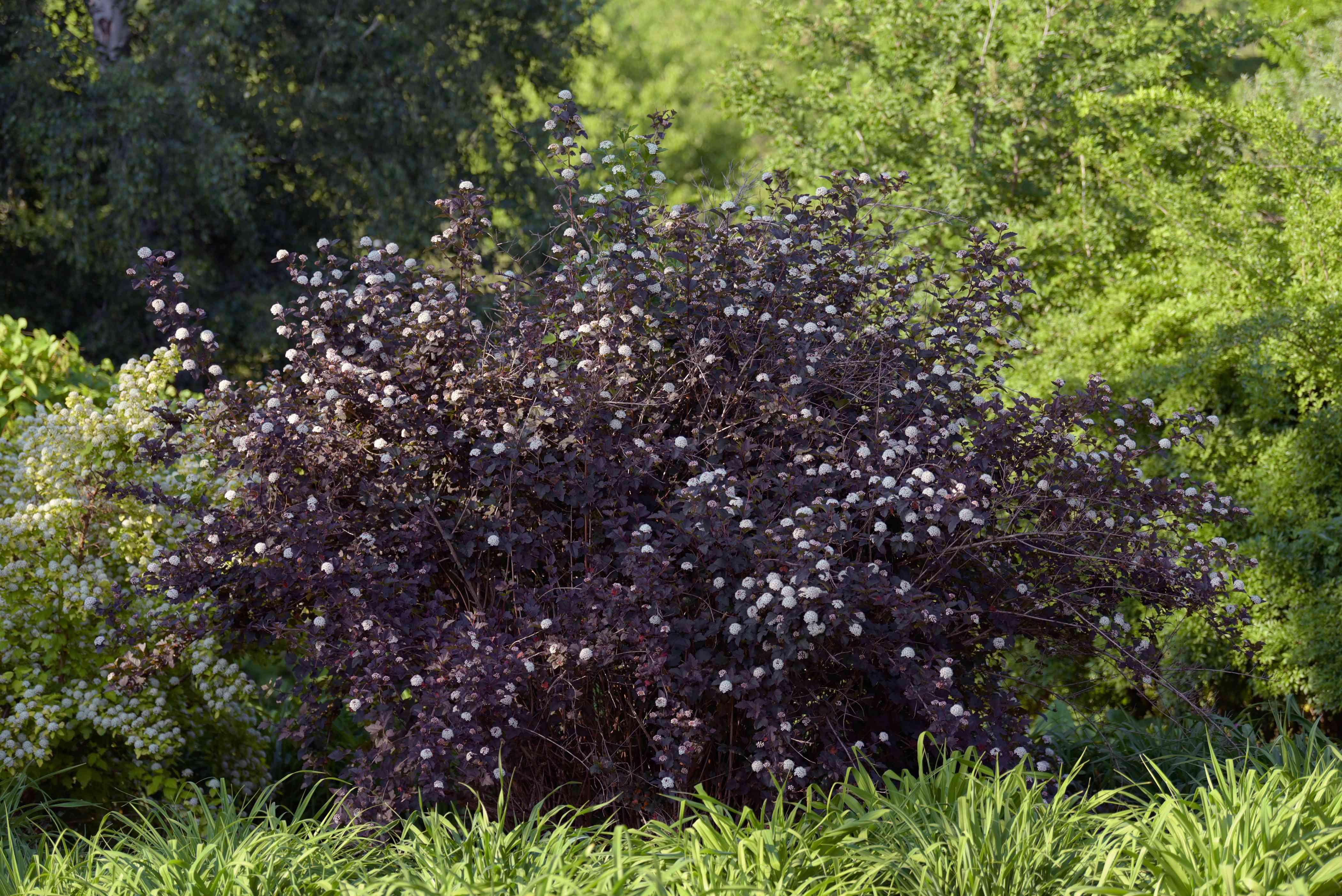 Diablo ninebark shrub with dark purple leaves and small white flowers