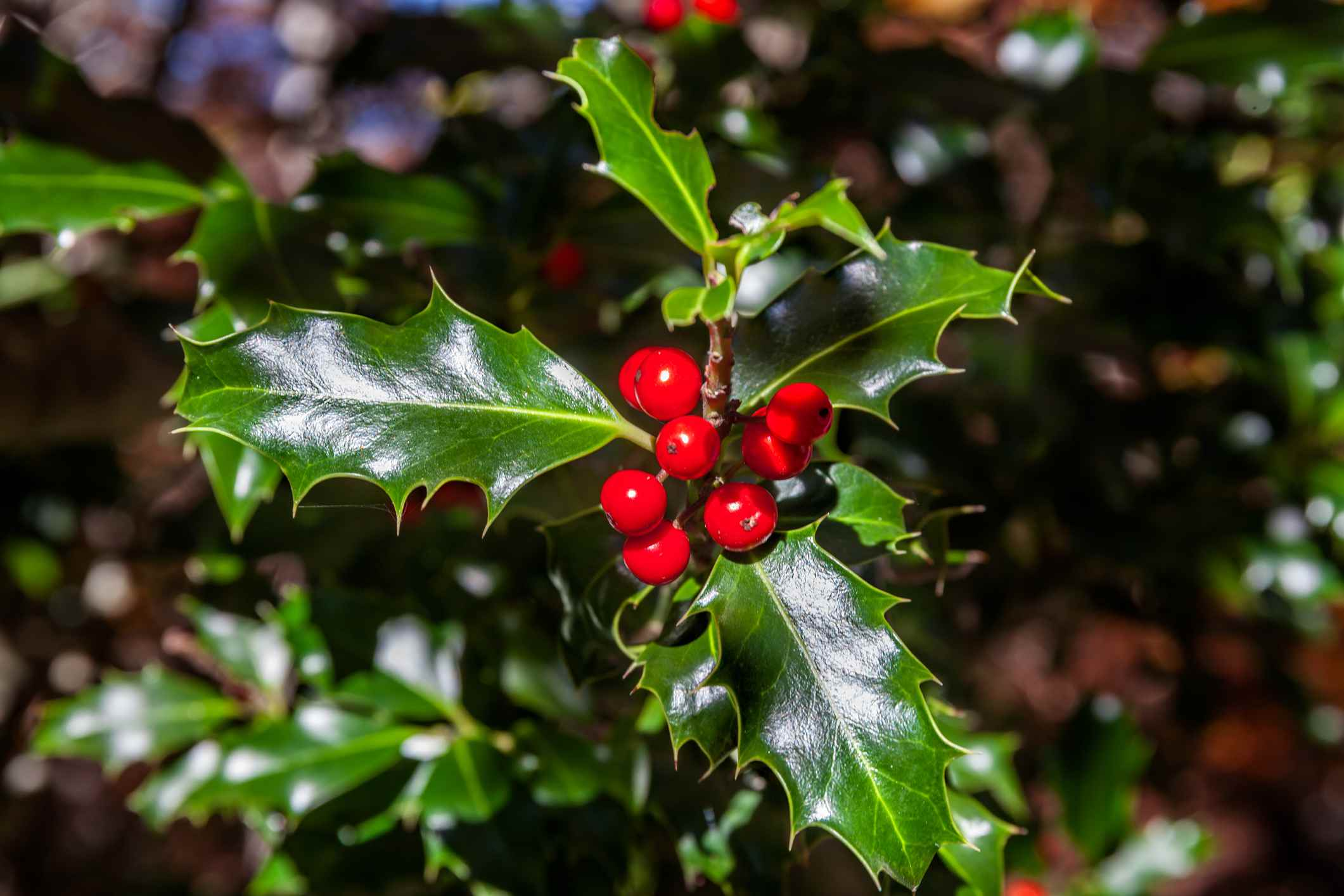 English holly with berries.