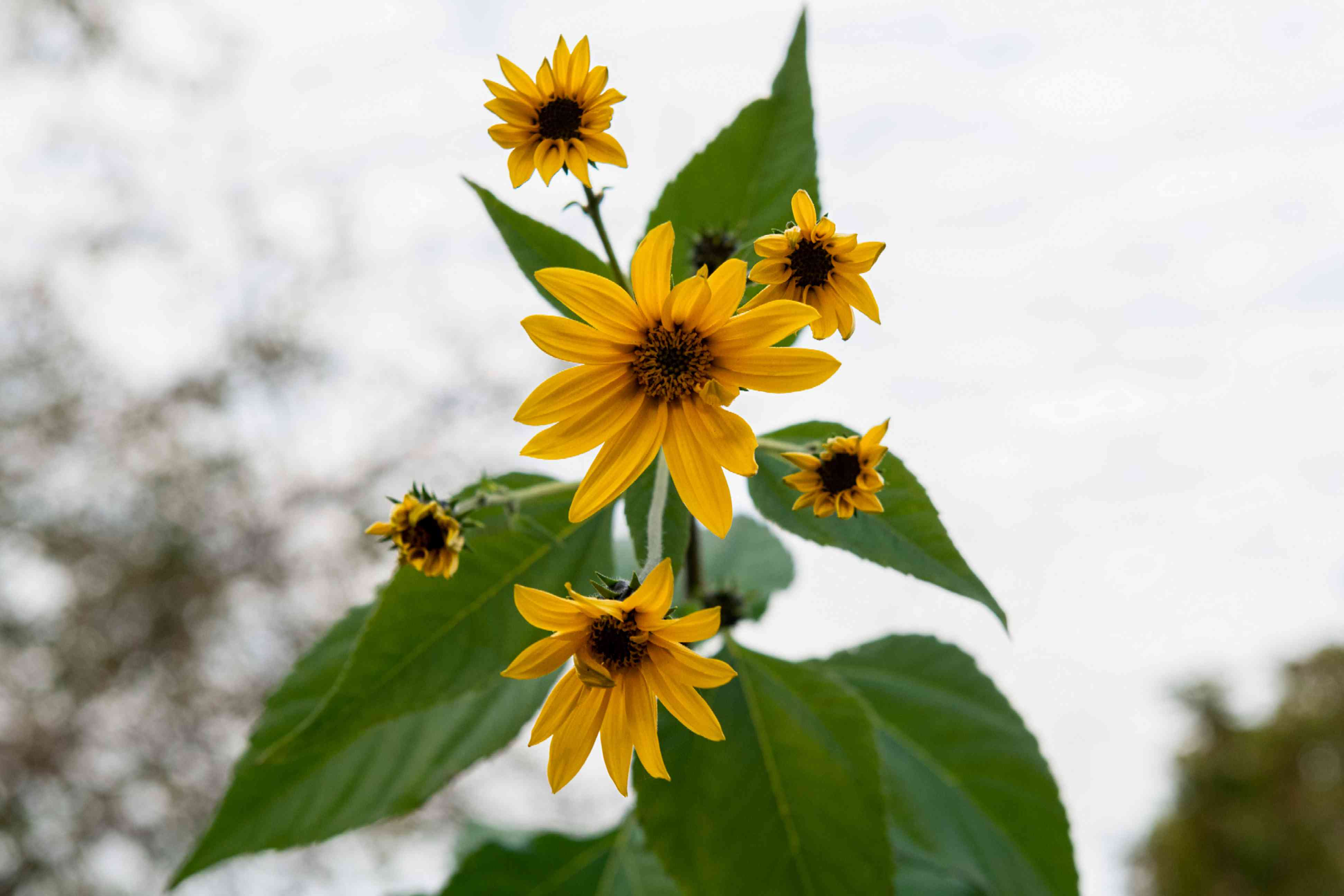 Jerusalem artichoke plant with tall yellow flowers on single stalk with leaves