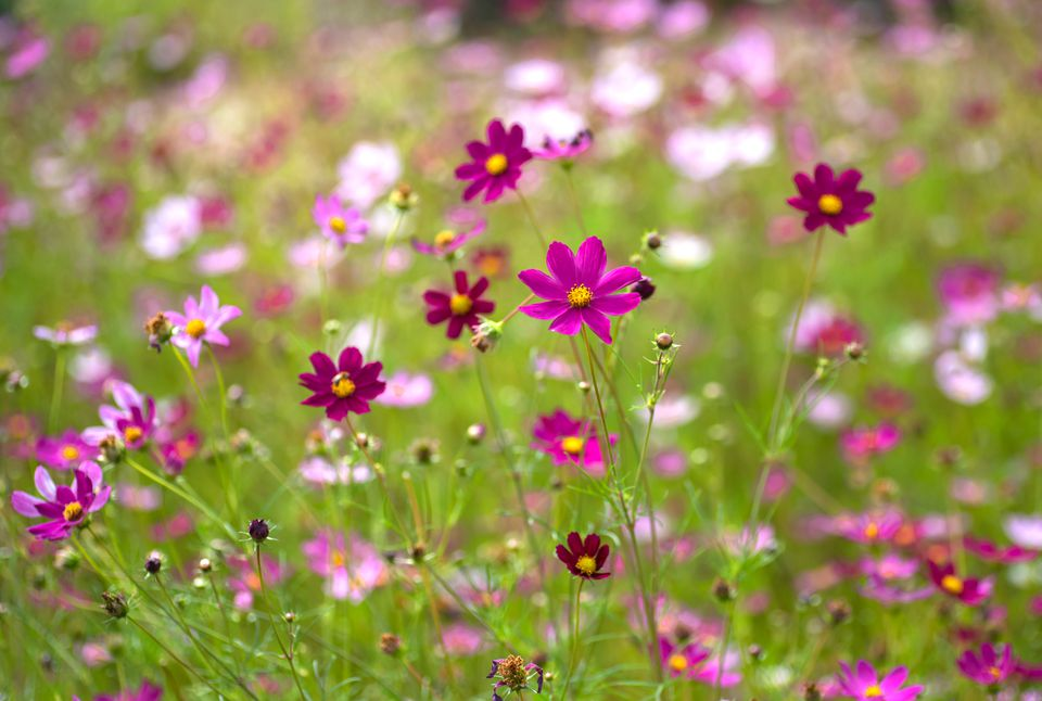 Pink cosmos flowers with yellow centers in field with wild flowers closeup