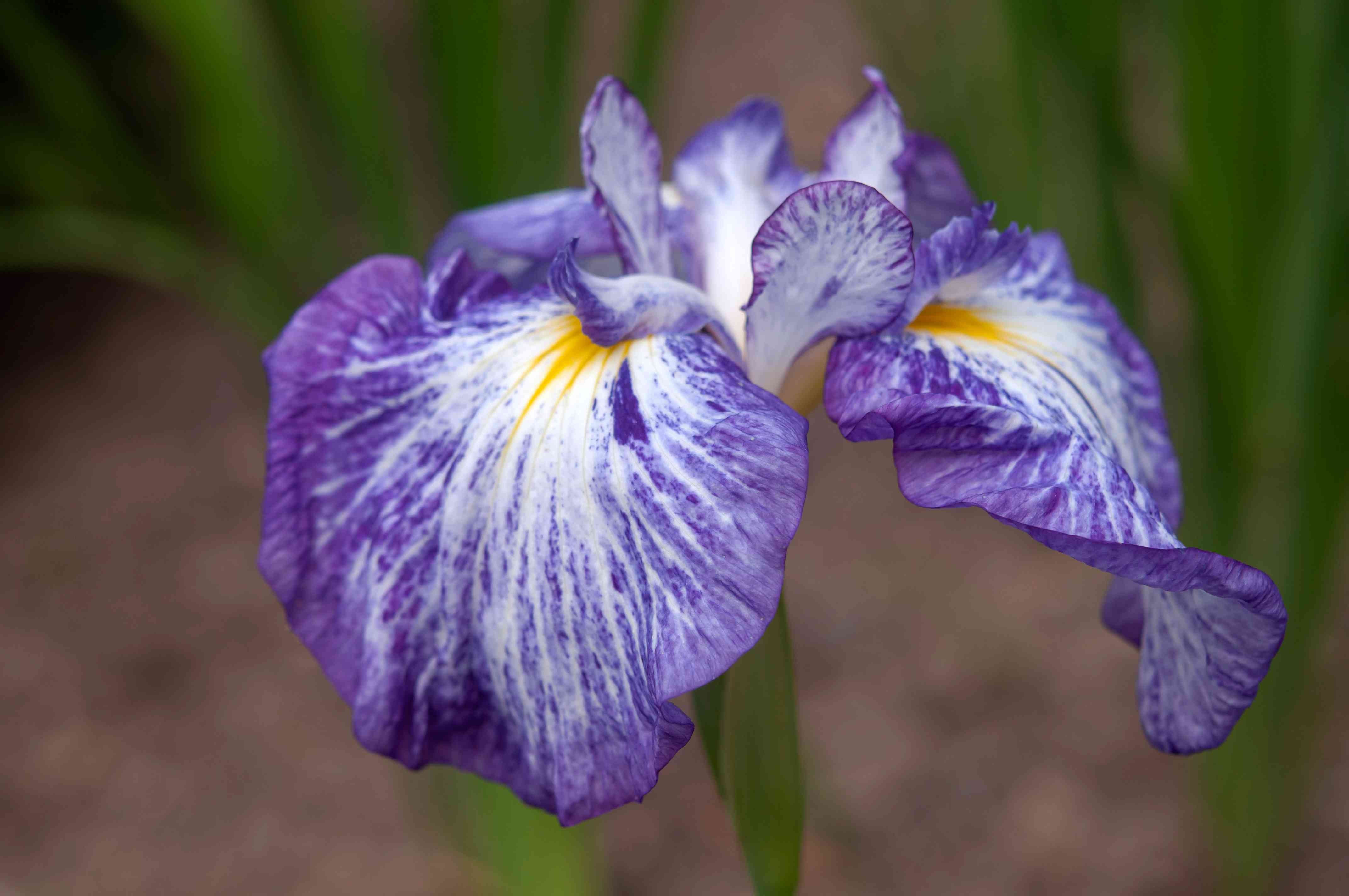 Japanese iris plant with purple, white and yellow streaked flat petals closeup