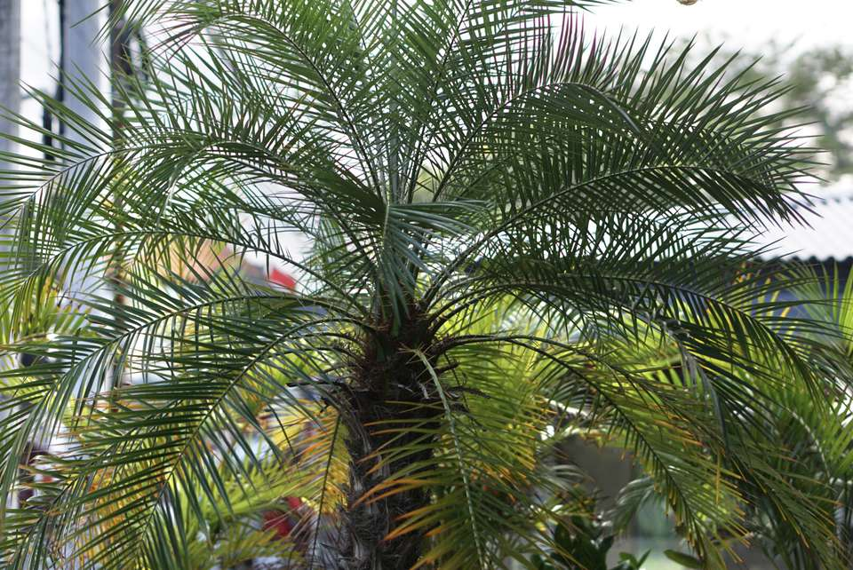 Robellini palm tree with wide-spreading fronds