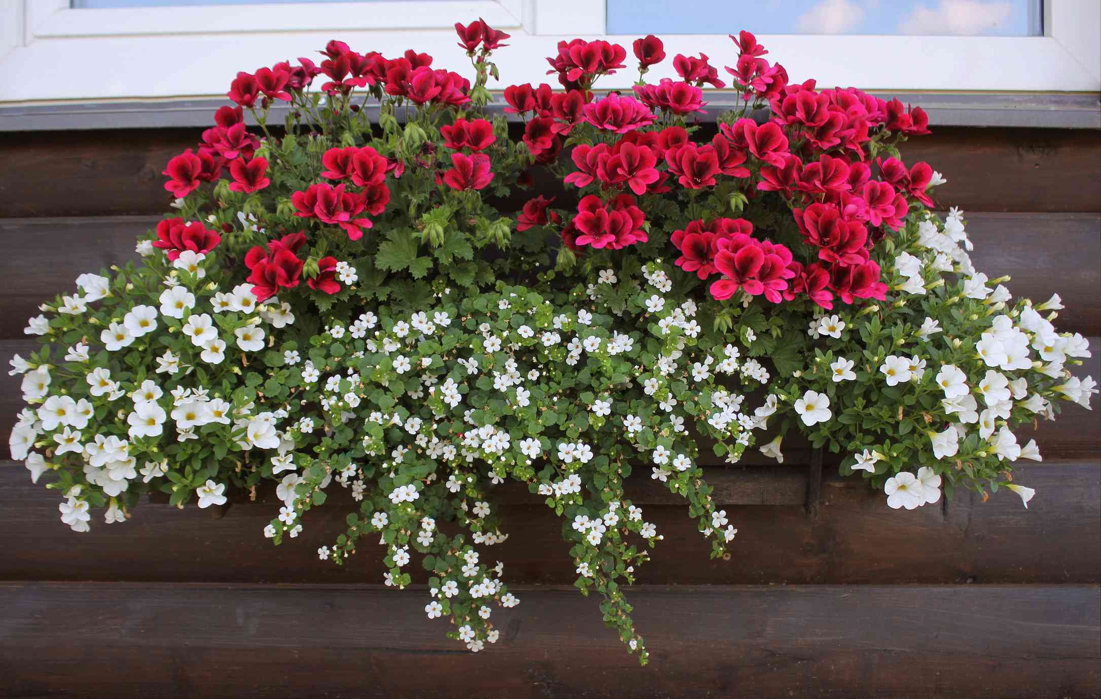 Water Hyssop in a window box with other flowers