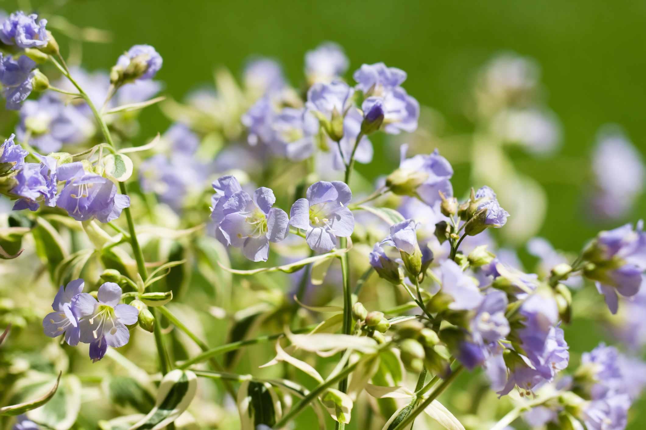 Plantas de la escalera de Jacob abigarradas en flor