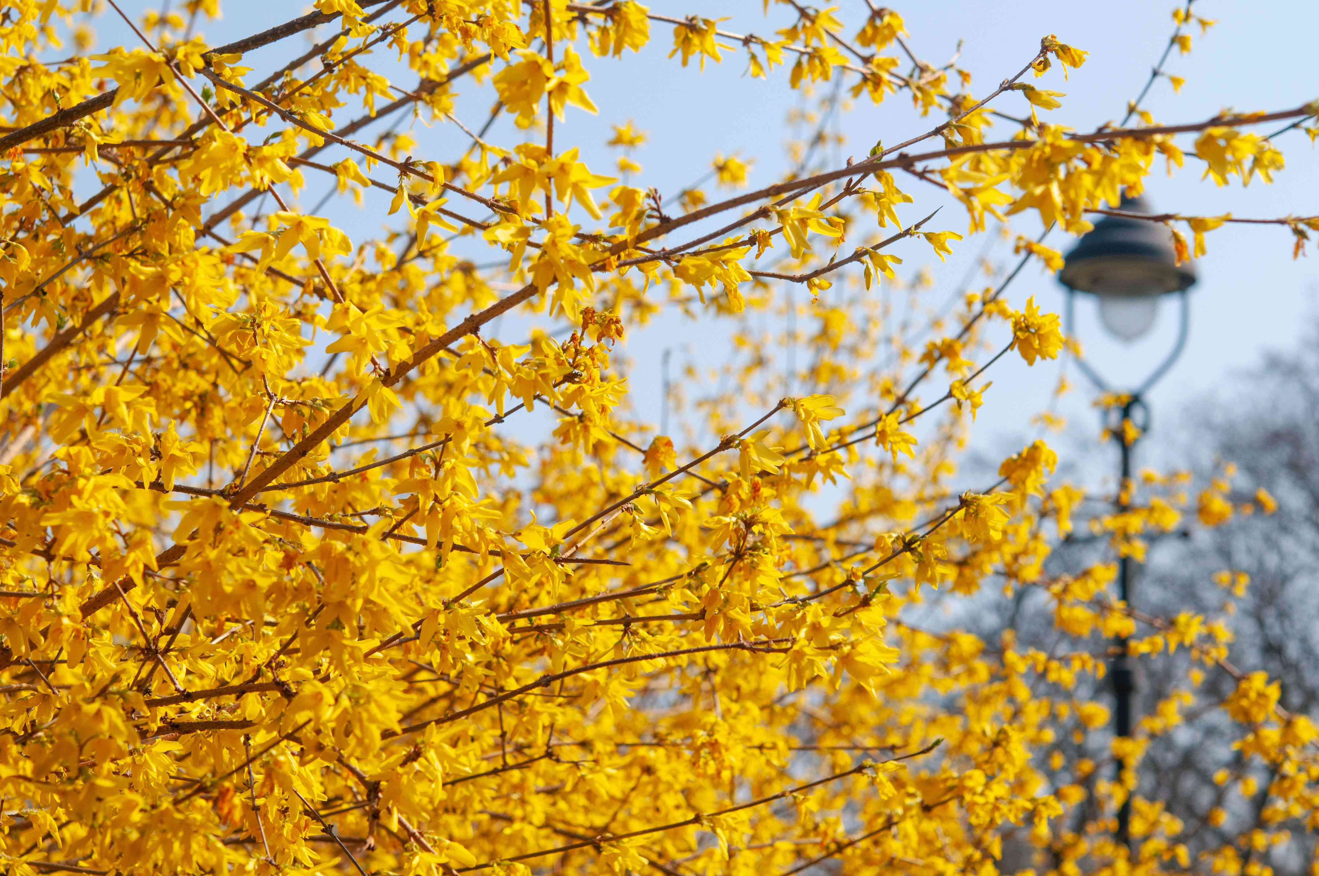 Forsythia bush with long arching branches with small yellow flowers in front of lamp post