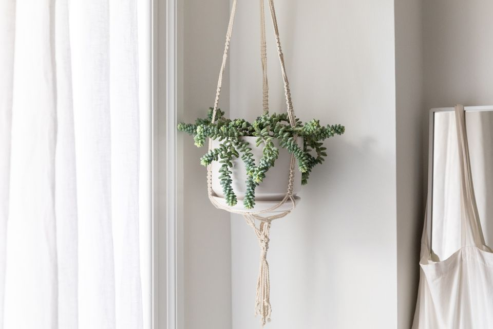 Donkey's tail succulent hanging in a white pot by draped window