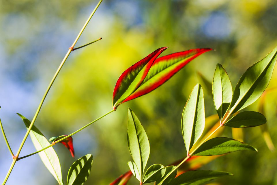 Nandina plant with red and green leaves.