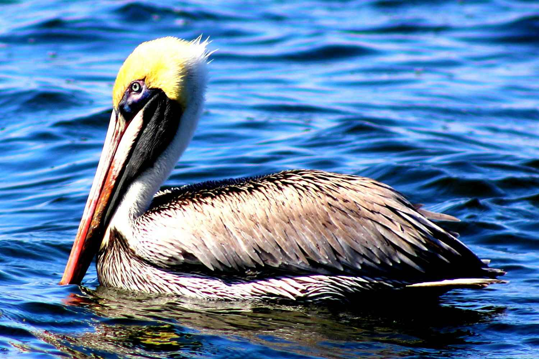 Brown Pelican, the state bird of Louisiana, swimming in water.