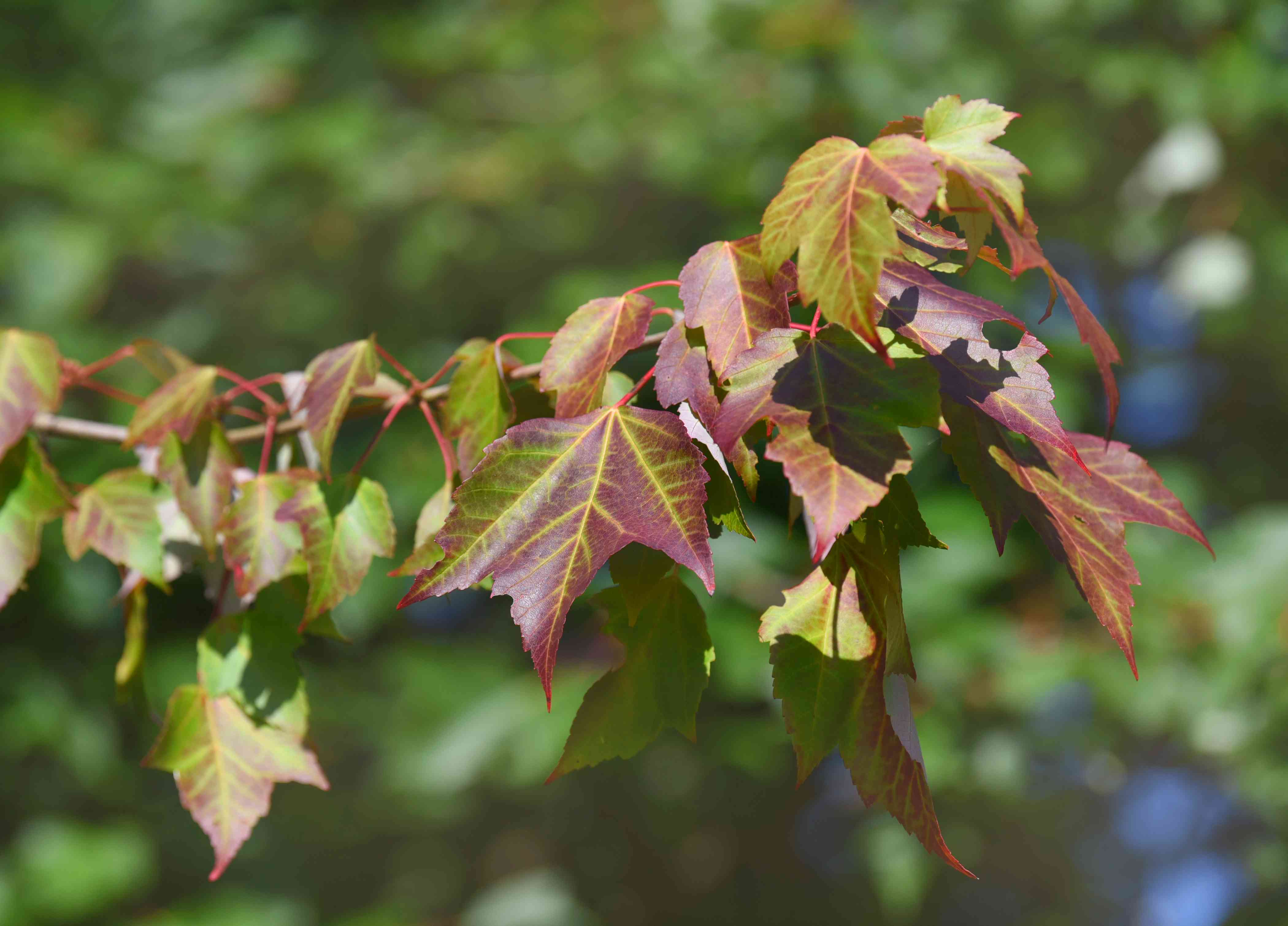 Red sunset maple tree branch with reddish-green three-lobes leaves in sunlight
