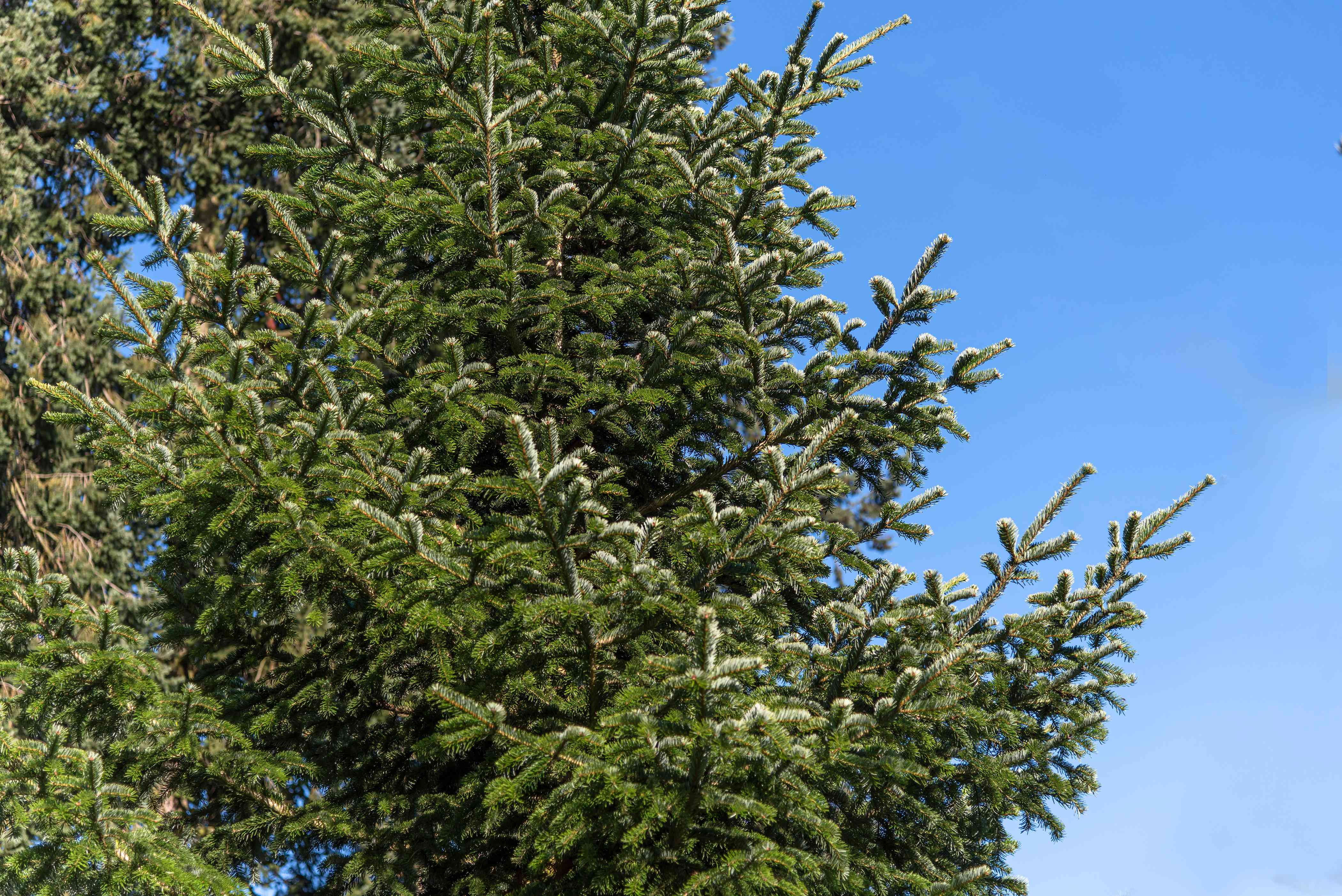 Balsam fir tree with densely-covered branches with gray-green needles against blue sky
