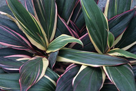 A Care and Growing Guide for the Cordyline Plant