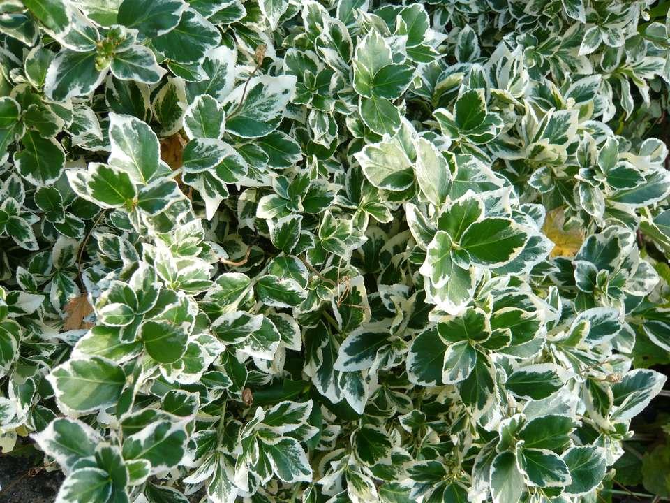 Emerald Gaiety euonymus shrub.