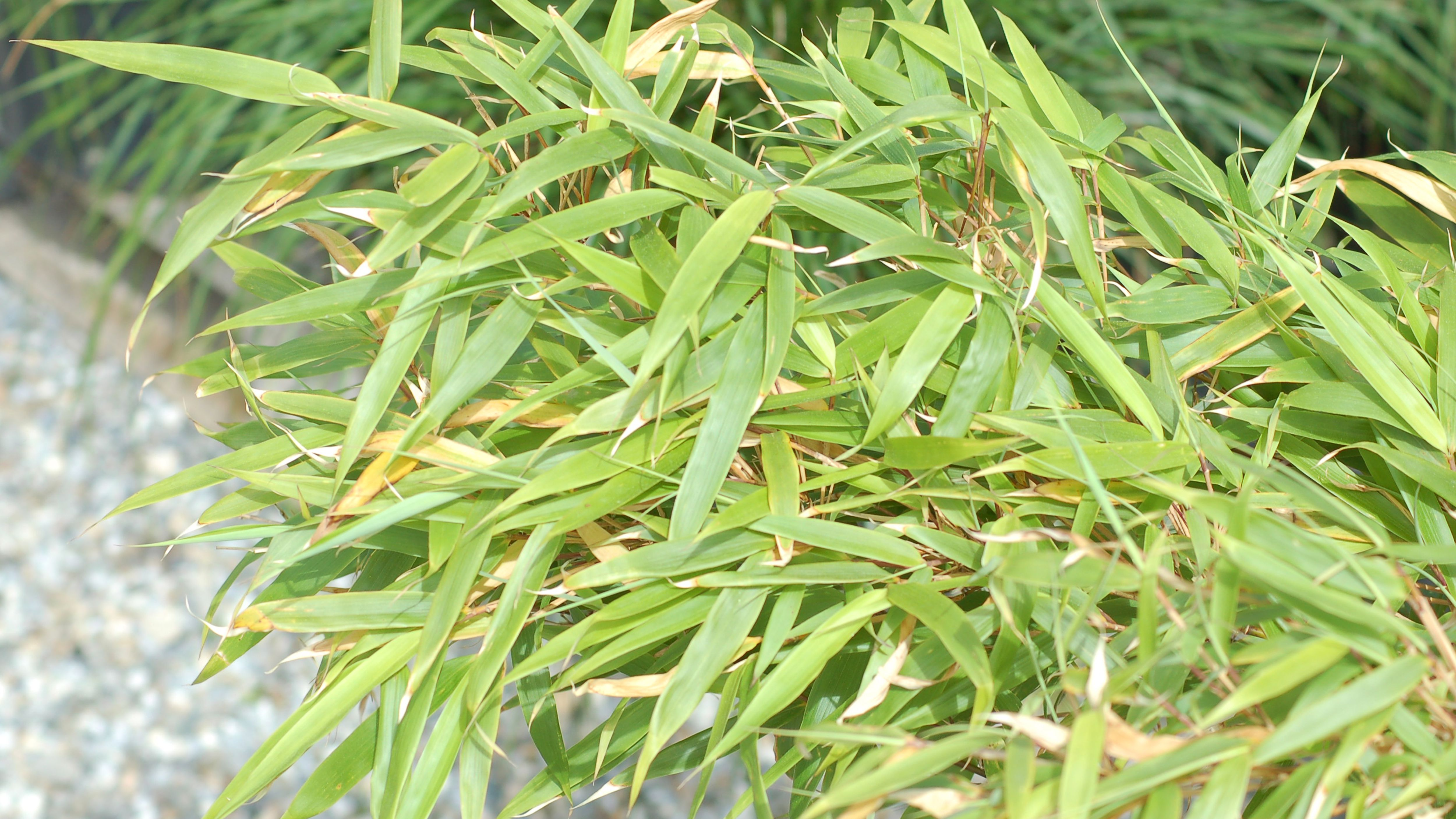 Growing Bamboos In Cold Climates