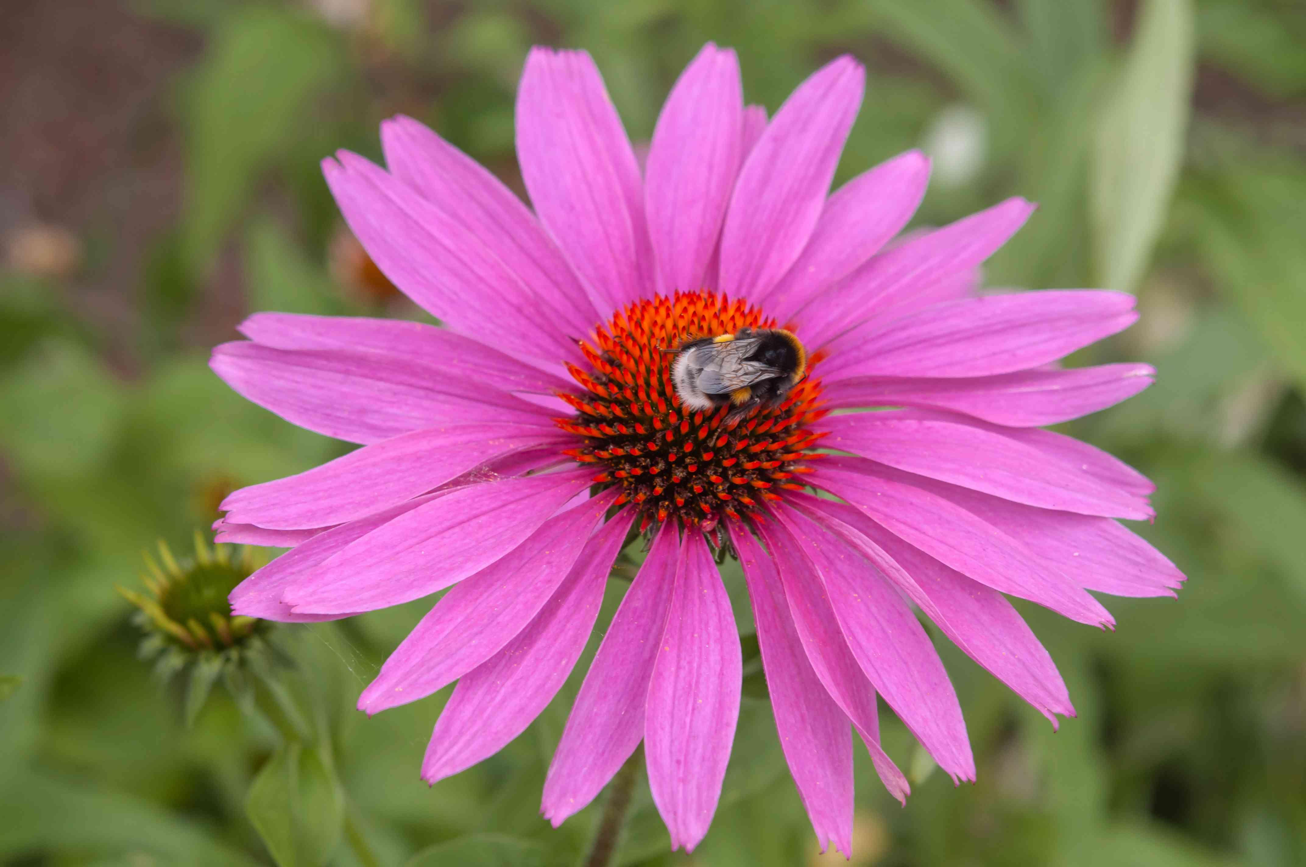 Rose-pink coneflower with bee in wildflower garden