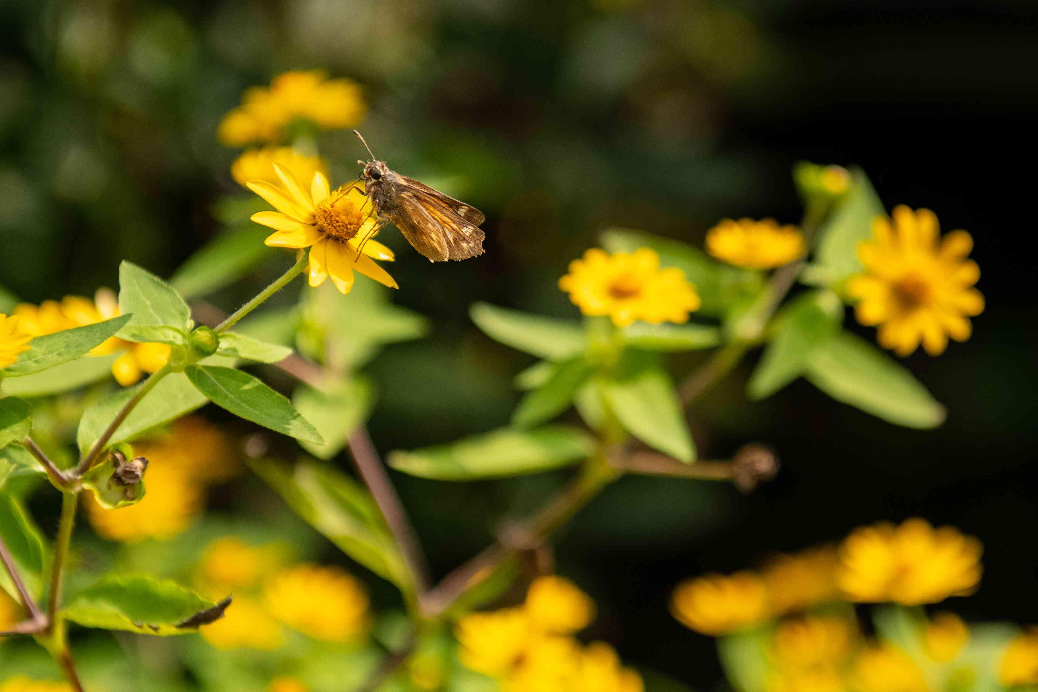 butterfly on melampodium flower