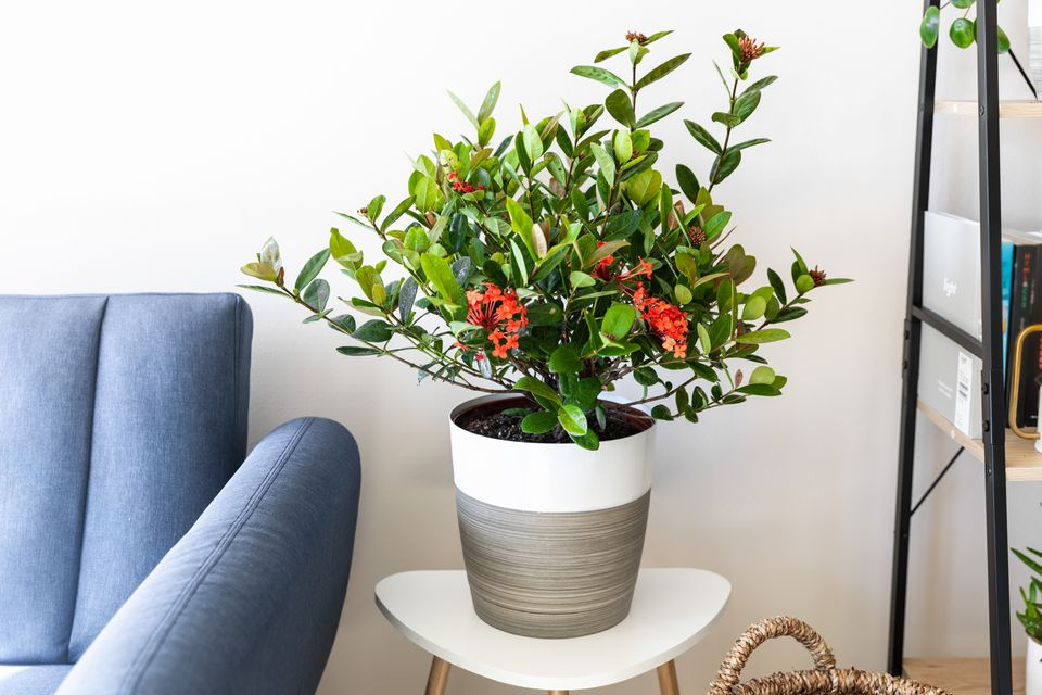 Ixora plant potted with red flowers and leaves in living space