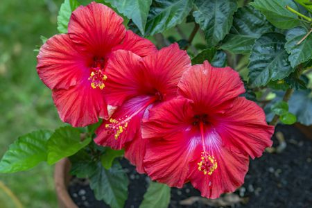How To Grow And Care For Tropical Hibiscus