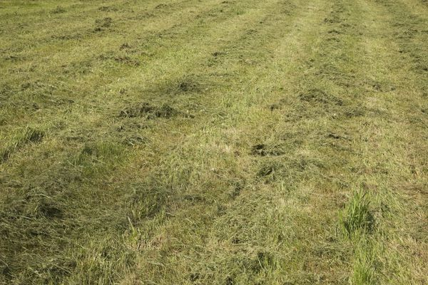 Mulched clippings in grass