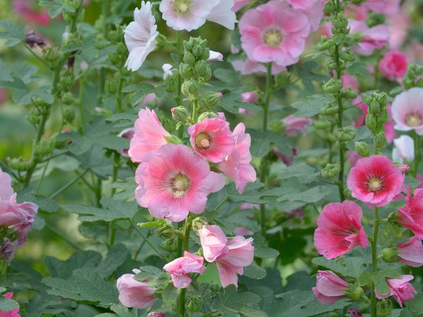 Pink flowers of the common hollyhock (Alcea rosea)