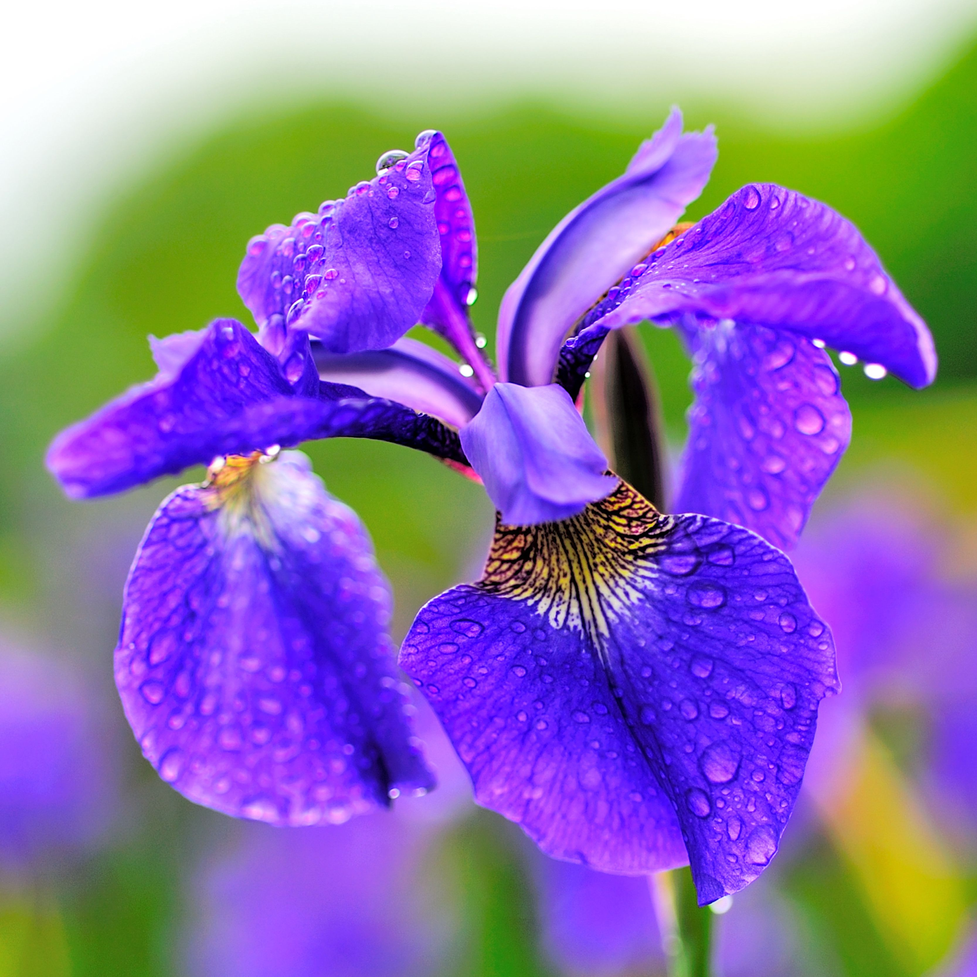 9 Irises For The Flower Garden