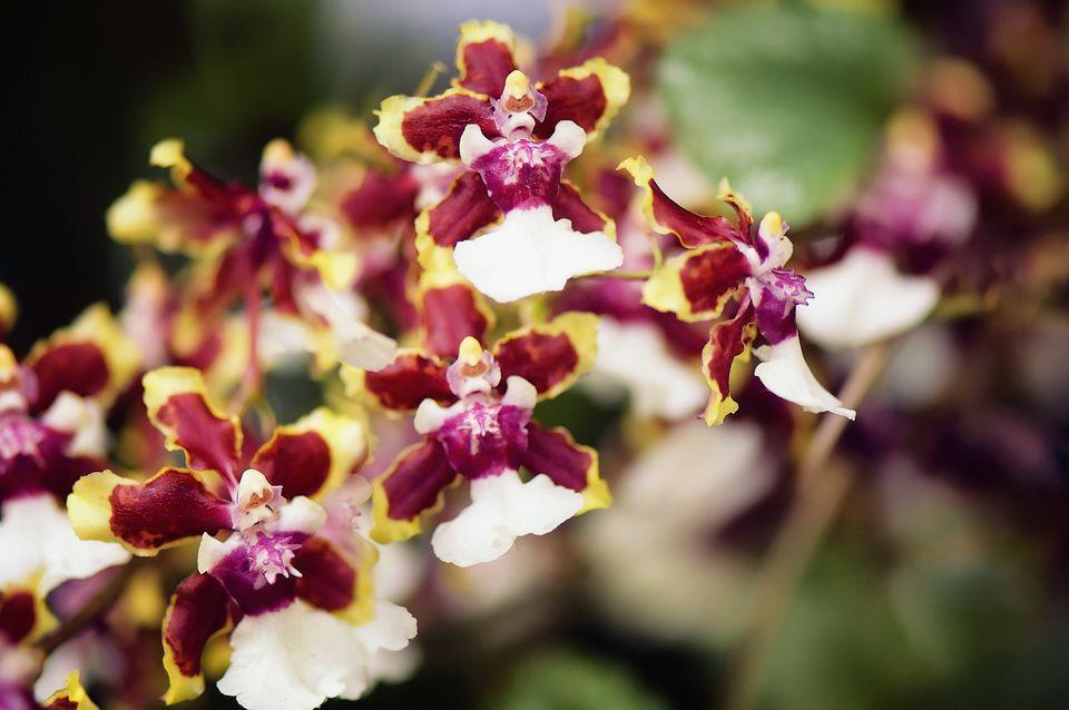 Oncidium Sharry Baby blooms