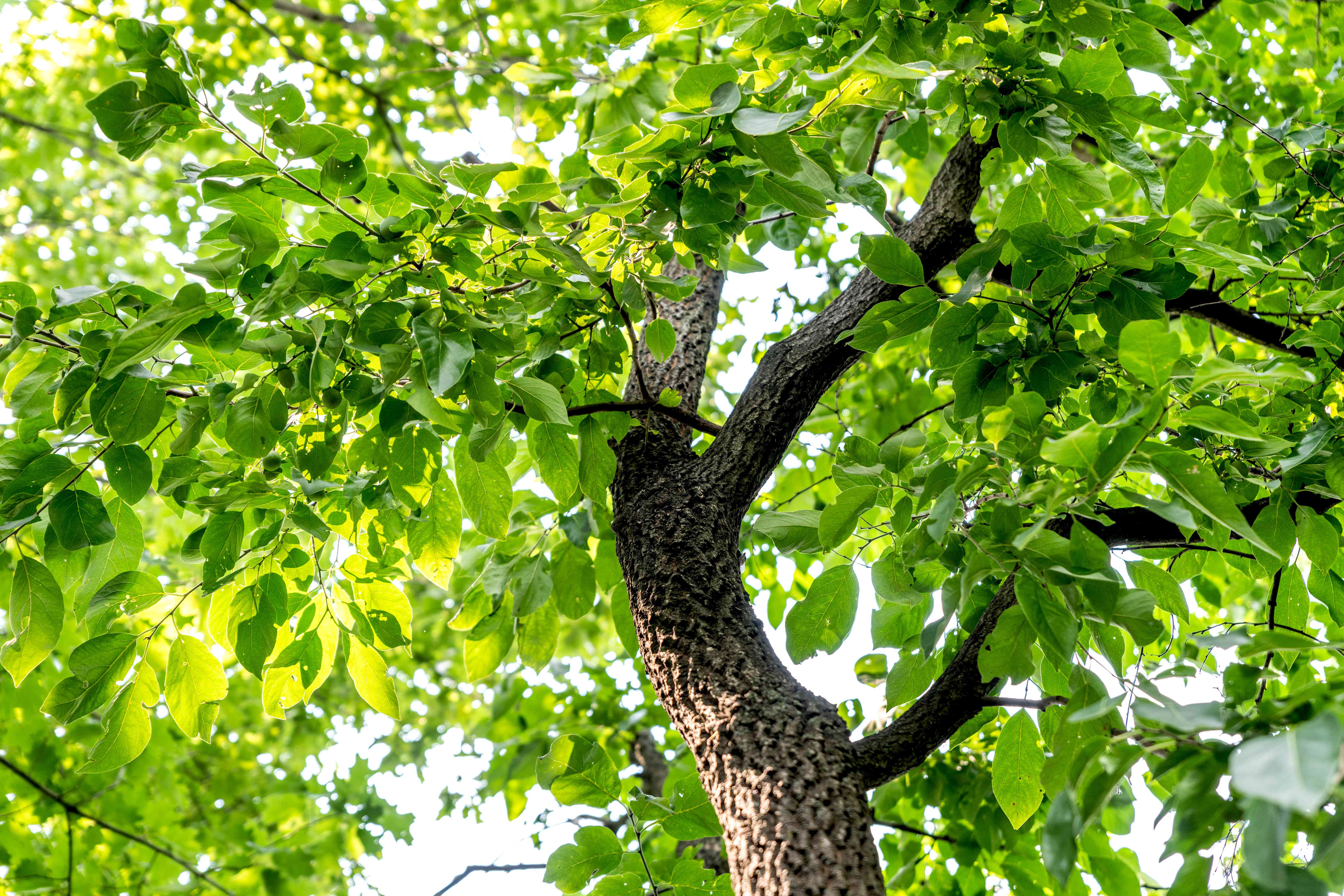 Persimmon tree trunk with deep grooves and bright green leaves in branches