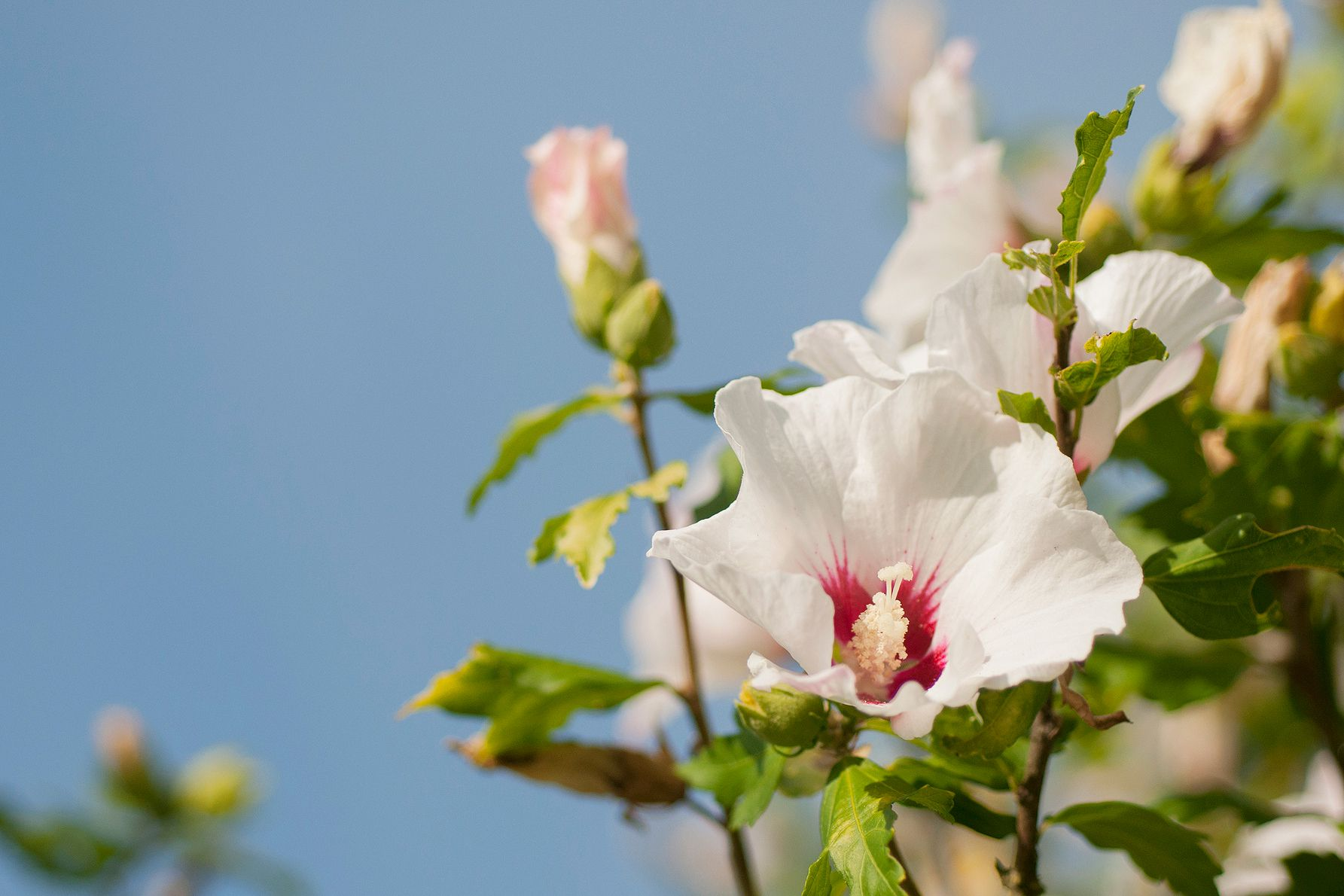 Rose Of Sharon Shrubs Pruning And Growing Tips