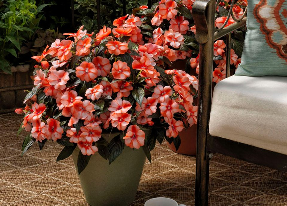 'Florific Sweet Orange' impatiens with bicolor petals