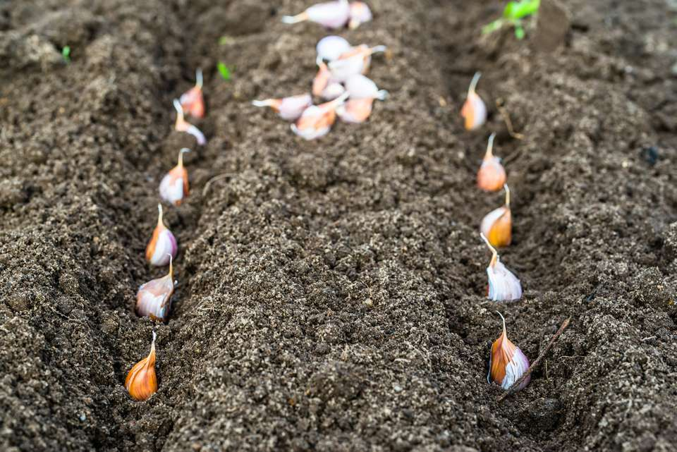 Planting garlic in the vegetable garden. Autumn gardening.