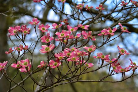 flowering dogwood tree with pink blooms
