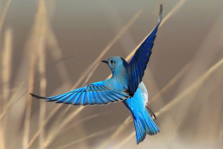 Mountain Bluebird, the state bird of Idaho, in flight.